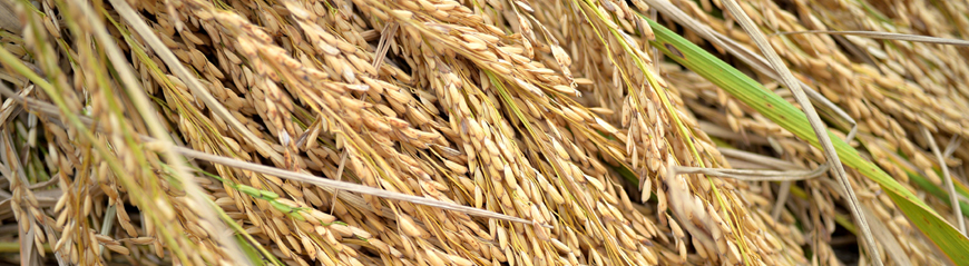 Rice closeup 1 final color B